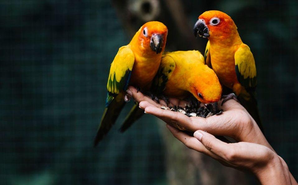 En México existen 22 especies de aves, algunas en peligro de extinción debido al comercio ilegal (Especial)