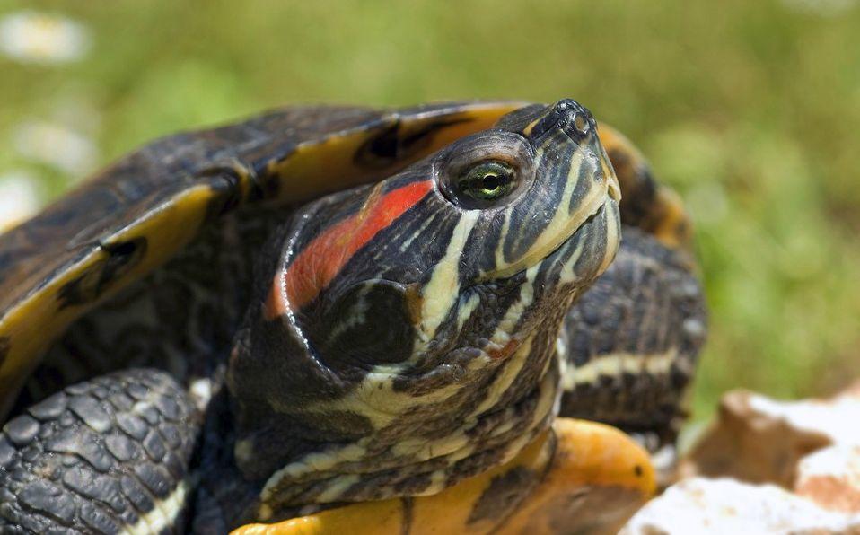 México ocupa el segundo lugar en reptiles con 804 especies, no todas ellas pueden ser consideradas para vivir en cautiverio  (Especial)